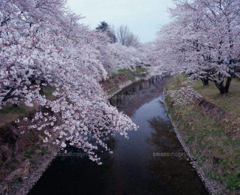 各務原市の桜